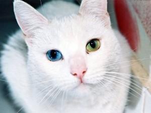 heterochromia pada kucing