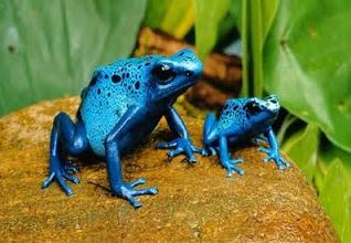 katak biru safir
