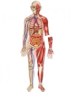 organ manusia
