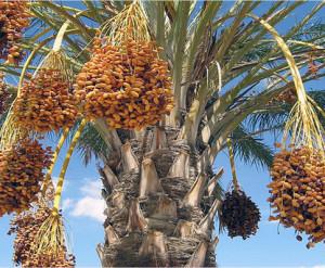 tamr tree